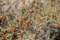 Red mature berry fruit of Anderson Thornbush, Lycium Andersonii, Solanaceae, native hermaphroditic perennial deciduous shrub in Joshua Tree National Park, Southern Mojave Desert, Summer.