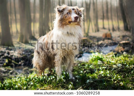 Red merle australian shepherd dog standing between snowflake in the forest at the spring. #1060289258