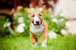 red miniature bull terrier puppy running outdoors