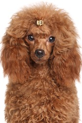 Red Miniature poodle puppy. Portrait on isolated white background