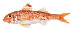 Red mullet isolated. Fresh fish