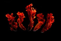 red multi color Siamese fighting fish.Multi color fighting fish isolated on black background.
