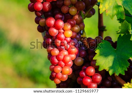Red Muscat grape varieties (Red Muskateller) . Natural Red wine  and green grape leaves in sunlight background