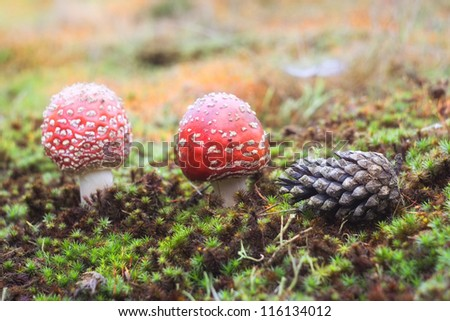 Red mushroom (Amanita Muscaria also known as Fly Ageric or Fly Amanita) in autumn forest