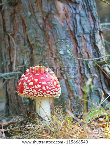Red mushroom. toadstool in the forest