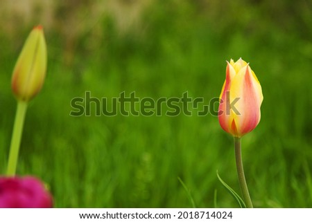 Red'n Yellow Tulip on green natural  background Foto stock ©