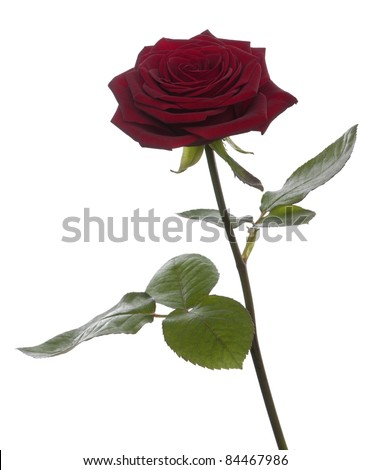 Red Naomi Rose in front of white background #84467986
