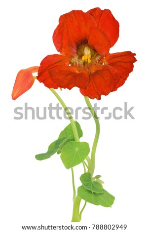red nasturtium flower isolated on white background