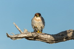 red-necked falcon (Falco chicquera) is a bird of prey in natural habitat, Etosha, Namibia Africa safari wildlife