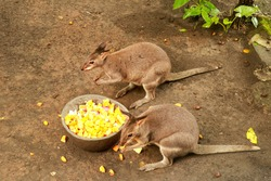 Red Necked Wallaby otherwise known as a Bennett's Wallaby eating fruit. small cangaroo
