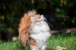 Red norwegian forest cat in the garden, outdoor