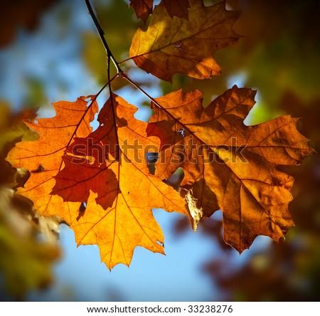 Red oak autumn leaves (Quercus Rubra)