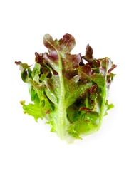 Red Oak lettuce (Lactuca sativa