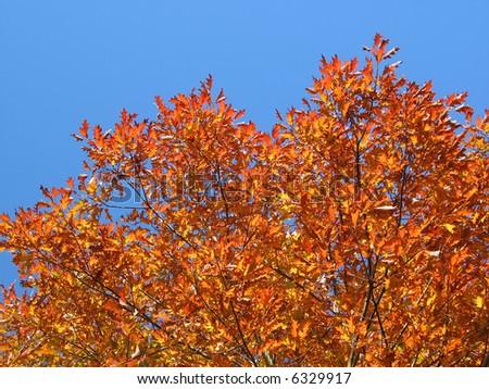 Red oak tree in autumn