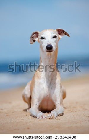 red old whippet dog lying down on the beach