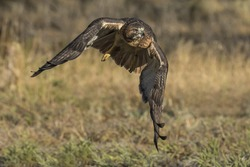 Red on the Run - A red-tailed hawk has its eye on prey as it flies in for the attack.