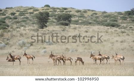 Red or Cape Haartebeest (Alcelaphus caama) herd in the Kalahari desert, Kgalagadi transfrontier park, South Africa