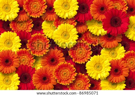 Red, orange and yellow daisy floral background.