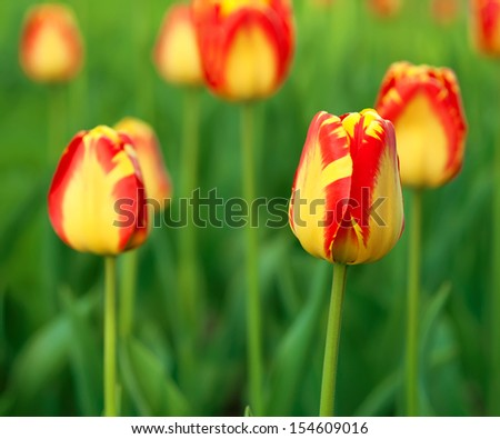 Red (orange)  beautiful tulips field in spring time
