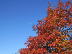 Red orange fall leaves against a blue sky with the moon visible.