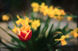 Red orange lone tulip grows against the background of family of bright yellow daffodils. Take care of the flowers. Plant and home gardening. Seasonal spring April and May beautiful flowers.