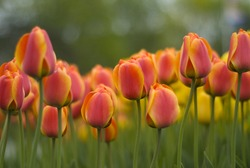Red-Orange Tulips