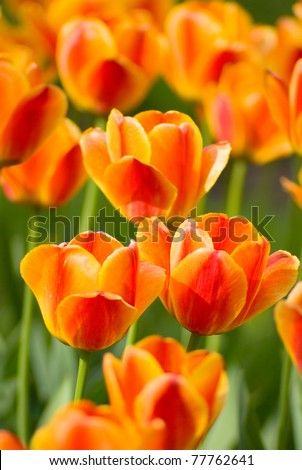 Red Orange Yellow Tulips flower shot from below close up with tulip background pattern