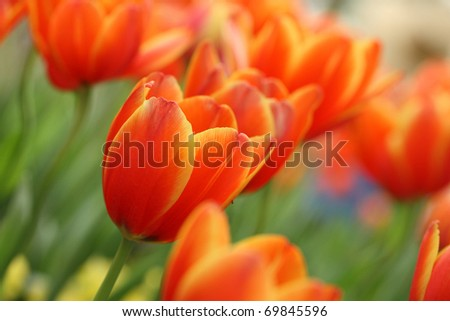 Red Orange Yellow Tulips flower shot from below macro close up with tulip background pattern