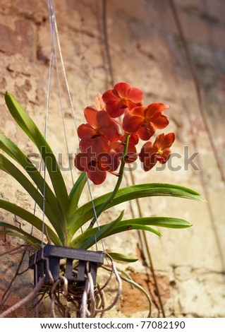 Red orchid growing in a pot against the wall #77082190