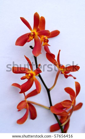 Red orchid isolated on white background