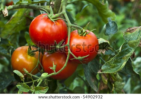 red organic tomato plant and fruit in the morning light