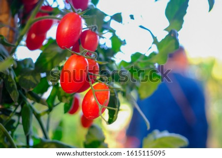 Red organic tomatoes in organic garden for sale to costomers
