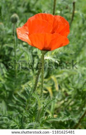 Red oriental poppy flower - Latin name - Papaver orientale Feuerriese #1181625481