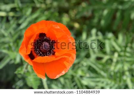 Red oriental poppy - Latin name - Papaver orientale 'Feuerriese' #1104884939