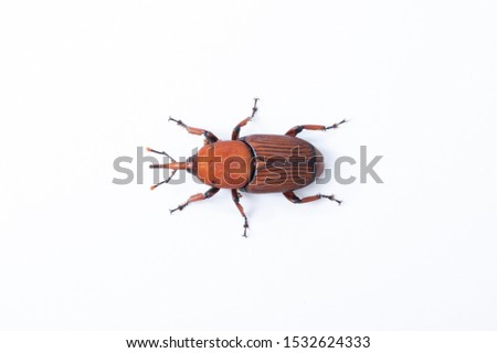 Red palm weevil insect destroy coconut tree on white background #1532624333