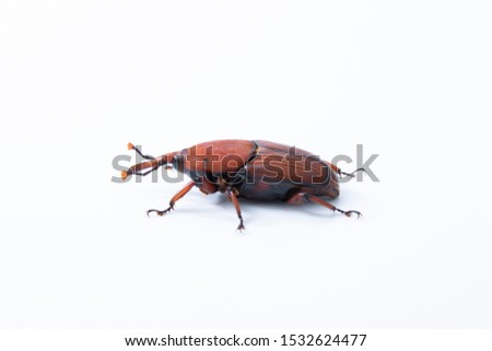 Red palm weevil insect destroy coconut tree on white background #1532624477