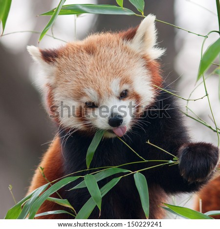 Stock Photo Red Panda