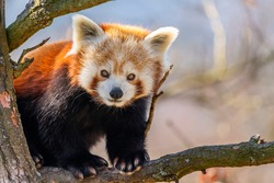 Red panda (Ailurus fulgens), panda cervena