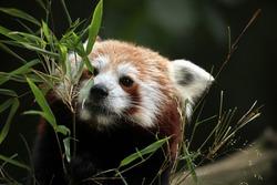 Red panda (Ailurus fulgens). Wild life animal.