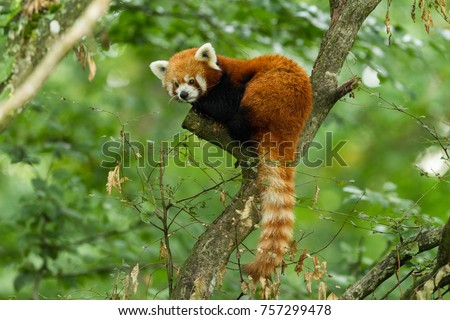 Stock Photo Red panda animal