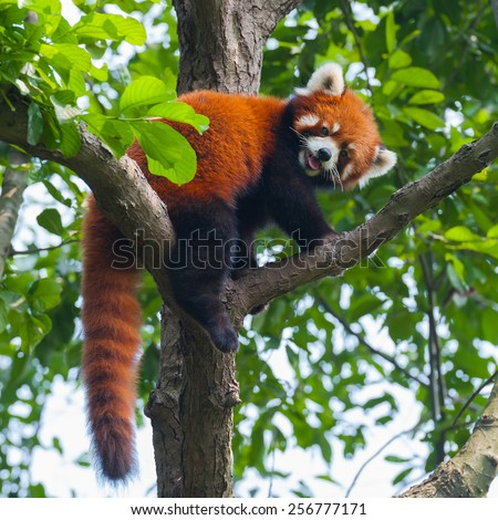 Red panda bear climbing tree