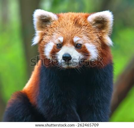 Red panda bear close-up