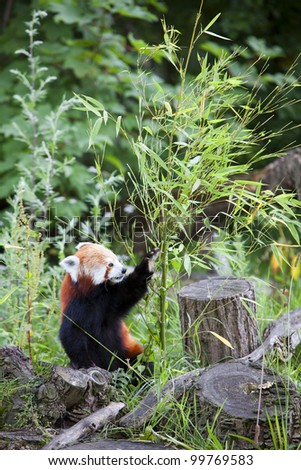 Red Panda busy eating bamboo