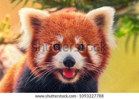 Stock Photo Red panda, close-up