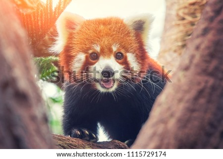 Stock Photo Red Panda, Firefox or Lesser Panda (Ailurus fulgens) on the tree