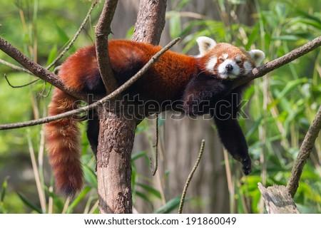 Red Panda, Firefox or Lesser Panda (Ailurus fulgens) resting in a tree