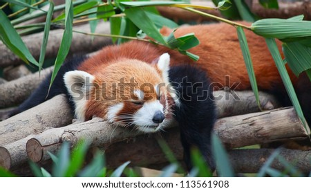 Red panda (firefox) sleeping on the tree #113561908