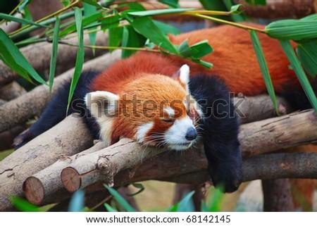 Red panda (firefox) sleeping on the tree