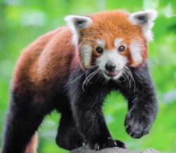 Red panda goes on camera