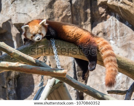 Red panda napping in a tree #1070860352